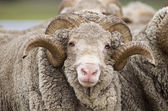 Saxon Merino Ram — Stock Photo