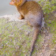 Mongoose — Stock Photo #32682495