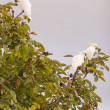 Stock Photo: Sulphur Crested Cockatoo