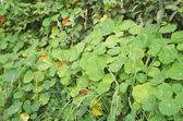 Nasturtium Plant — Stock Photo