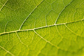 Grapevine Leaf — Stock Photo
