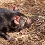 ������, ������: Tasmanian Devil