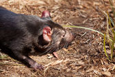 Tasmanian Devil — Stock Photo