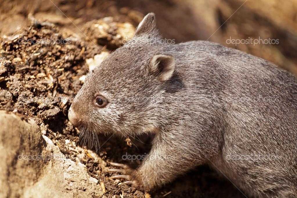 澳大利亚塔斯马尼亚的共同或裸鼻袋熊