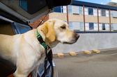 Sniffer Dog — Stock Photo