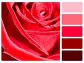 Red rose colour palette swatch — Stock Photo