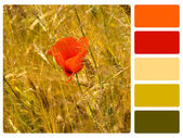 Red poppy colour palette swatch — Stock Photo
