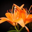 Lilies on a black background - Stock fotografie