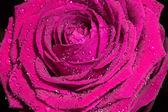 Różowa róża z kropli wody. — Zdjęcie stockowe