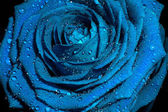 Blue rose with water drops. — Stock Photo