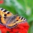 Beautiful butterfly on red flower — Stock Photo