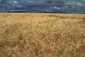 Rye ears on a huge field — Stock Photo
