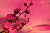 Branch with pink flowers orchid — Stock Photo