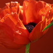 Red poppy — Foto de Stock