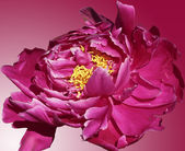 Floral background with pink peony petals — Stock Photo