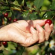 Ripe cherry in a female hand — Stock Photo #28604401