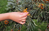 Woman's hand and a branch with berries of sea buckthorn — Stock Photo