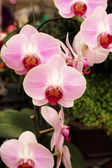 Pink flowers orchid — Stockfoto