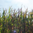 Green field of corn - Stock Photo