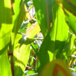 Stock Video: Green field of corn