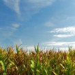 Green field of corn - Foto de Stock