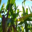 Green field of corn - Stockfoto