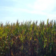 Green field of corn — Stock Video #12679514