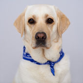 Handsome golden labrador — Stock Photo