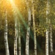 Birch trees in a autumn — Stock Photo