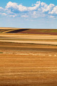 Field of harvested wheat — Stock Photo