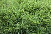 Green grass — Stock Photo
