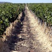 Row of grapes — Stock Photo