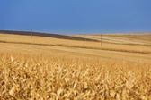 Yellow wheat field with power lines — Foto de Stock