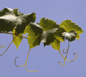 leaves of a vine in a vineyard on  blue sky — Foto de Stock