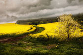 Yellow rape field Landscape with gray clouds — Stock Photo