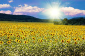 Field of blooming sunflowers on a sunset — Photo