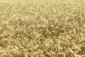 Field of ripe wheat — Stock Photo