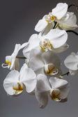 Bílá orchidej — Stock fotografie