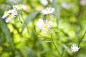 Floral border of green leaves and white flowers — Stock Photo