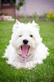 Westie on the green grass — Stock Photo