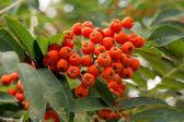 Rowanberry — Stock Photo