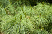 Pine detail — Stock Photo