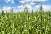 Wheat field close up — Stock Photo