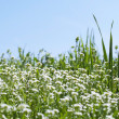 Стоковое фото: Flowery meadow in spring time