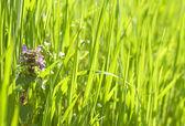Deadnettle (Lamium) in grass — Stock Photo