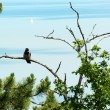 Crow is sitting on the old tree at Lake Balaton, Hungary — Stock Photo