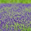Stock Video: Lavender field