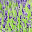 Stock Video: Lavender close up in wind