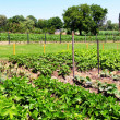Vegetable garden — Stockfoto