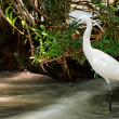 Little Egret is hunting  (Egretta garzetta) at Lake Balaton, Hungary — Stock Photo